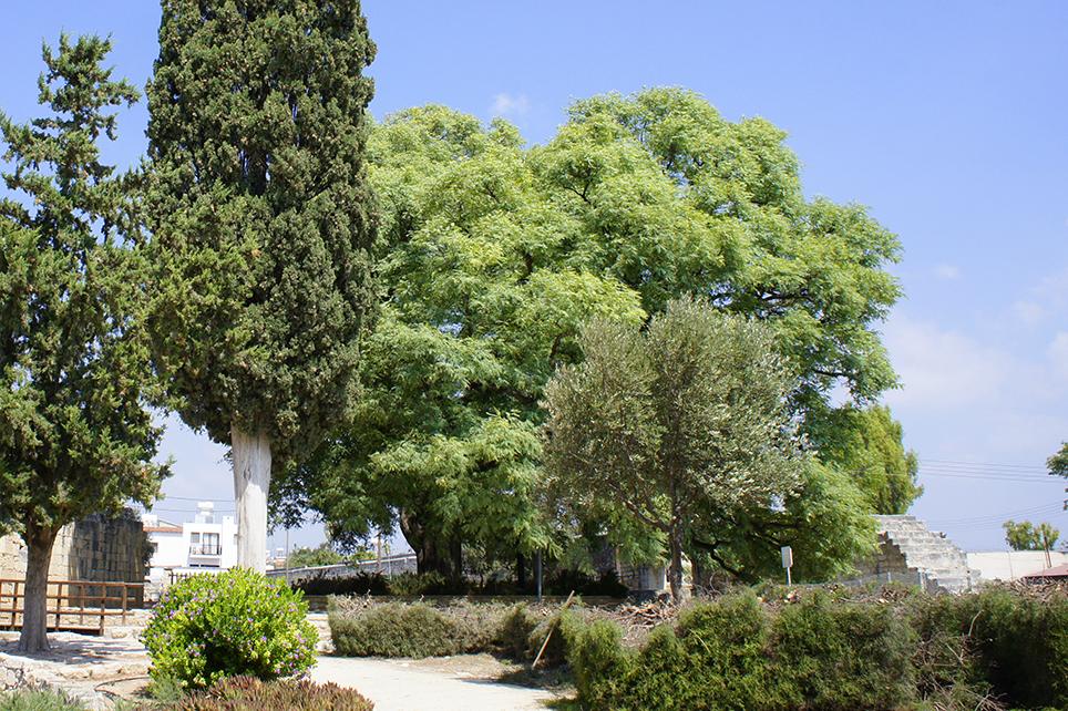 дерево Типуана